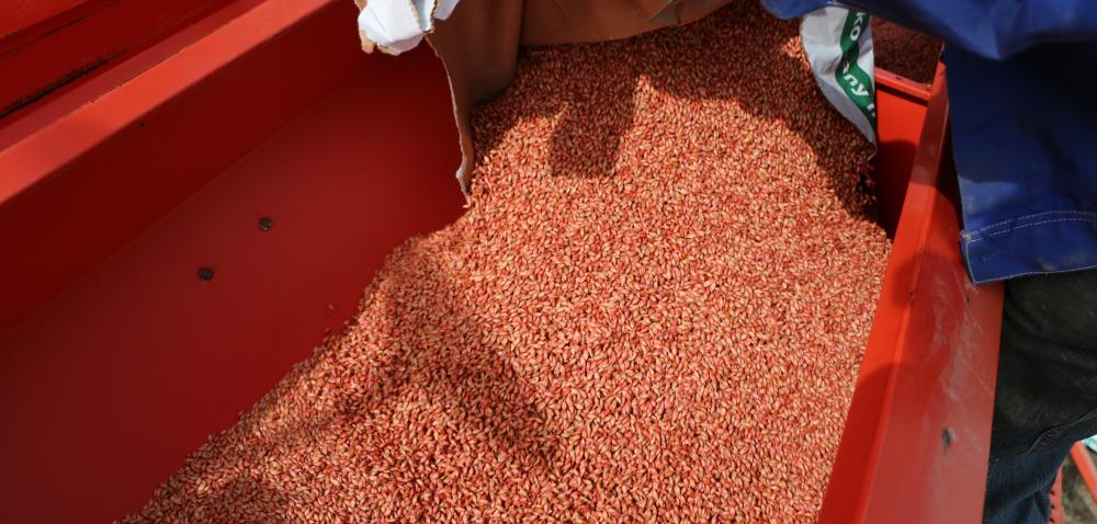Zaprawianie nasion zbóż to podstawa! [WYWIAD]