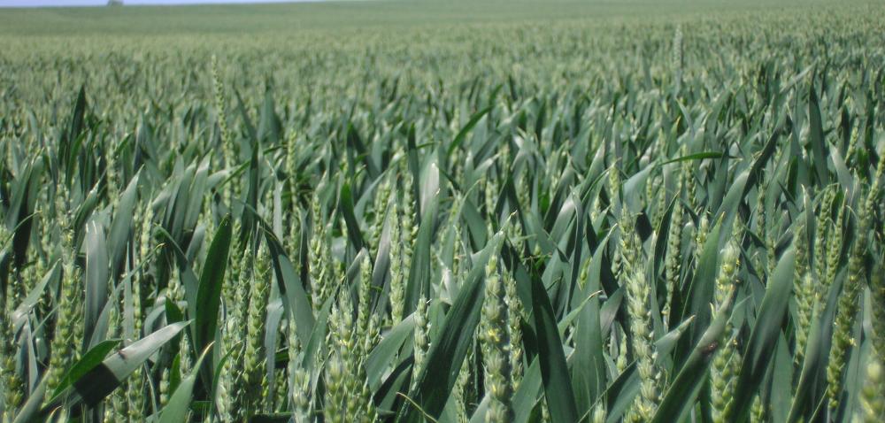 Kalkulacja uprawy pszenicy. Czy warto robić obliczenia?