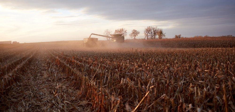 Ściernisko po kukurydzy. Jak zagospodarować resztki pożniwne?