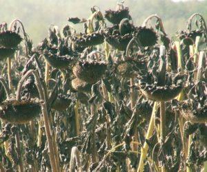 Uprawa słonecznika – dobra alternatywa dla rzepaku