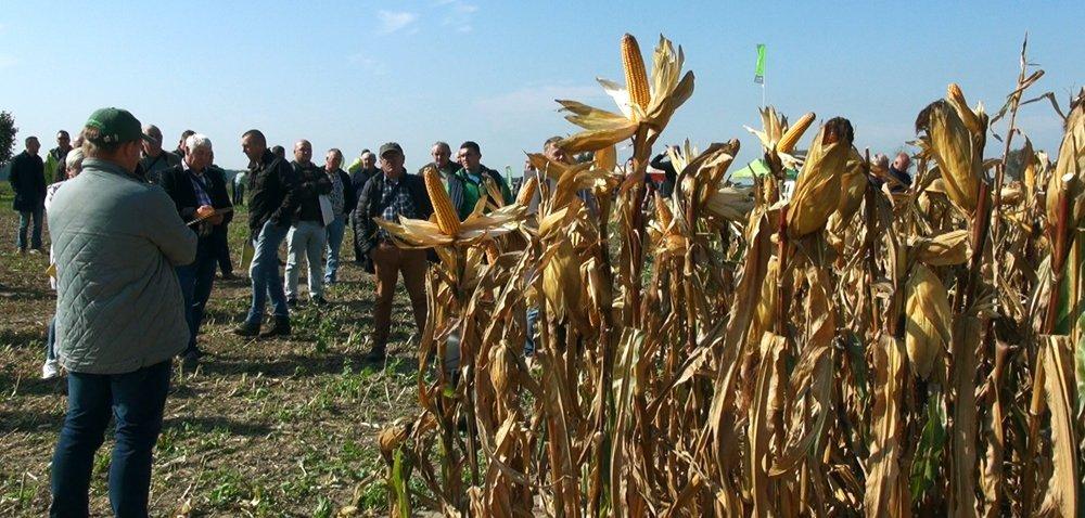 Plonowanie kukurydzy, awybór odmiany