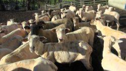 hodowla owiec