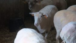 hodowla owiec, ostrzyżone owce