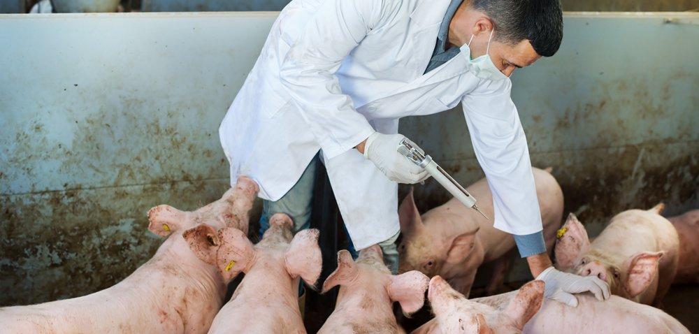 Dlaczego powinniśmy zwalczać pasożyty wstadzie świń?