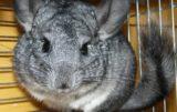 zakaz hodowli zwierząt futerkowych