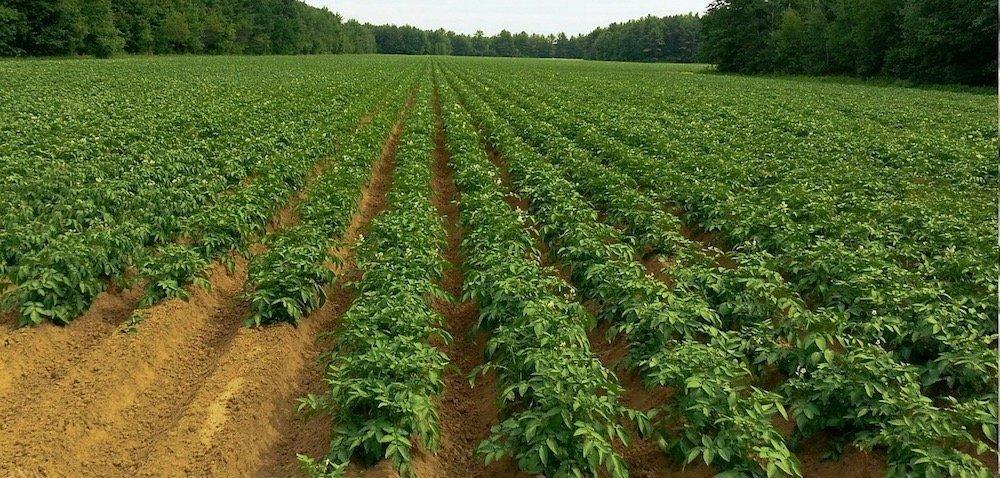 Rynek ziemniaka wPolsce. Co przyniesie 2019 rok?