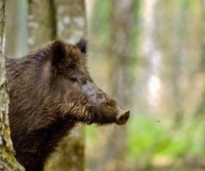 ASF wLubuskiem – ubram świńskiego zagłębia!