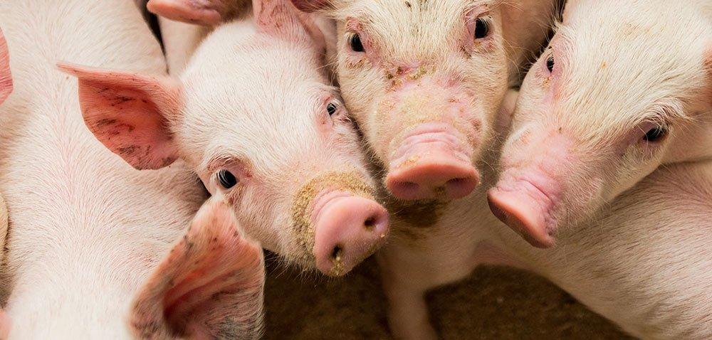 Ceny wieprzowiny osiągną rekordowe poziomy?