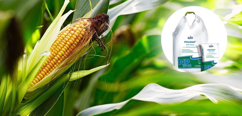 POLIDAP® niezastąpiony wnawożeniu kukurydzy