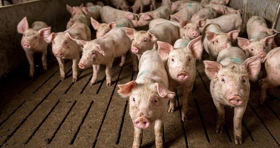 Program wsparcia hodowców świń. NOWE INFORMACJE – Sprawdź!