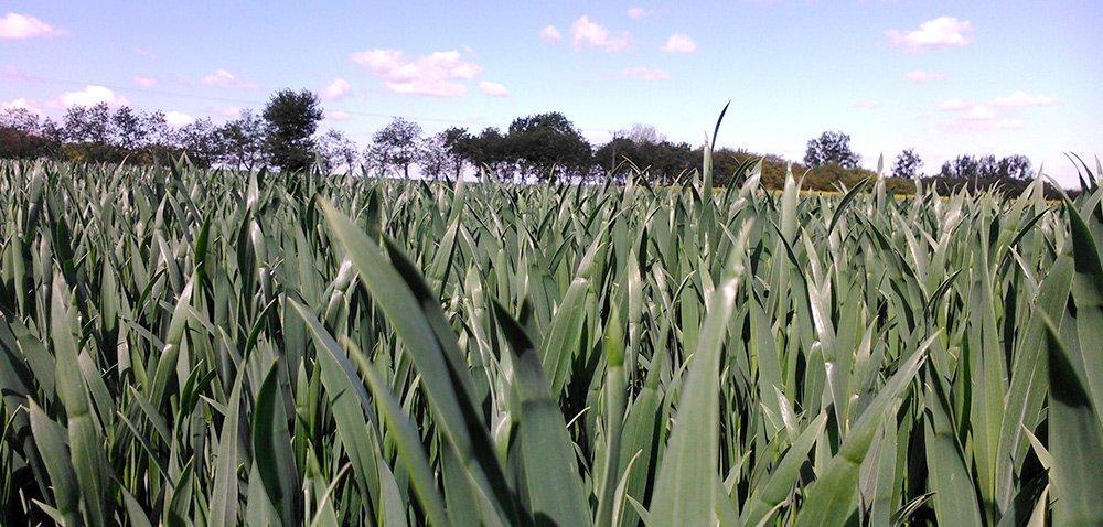 Nawożenie pogłówne pszenicy – postaw na dobrą formę azotu!