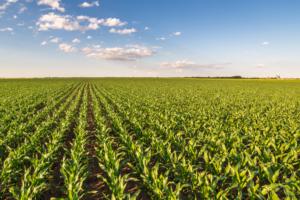 Przedsiewna dawka azotu dla pewnego startu kukurydzy!