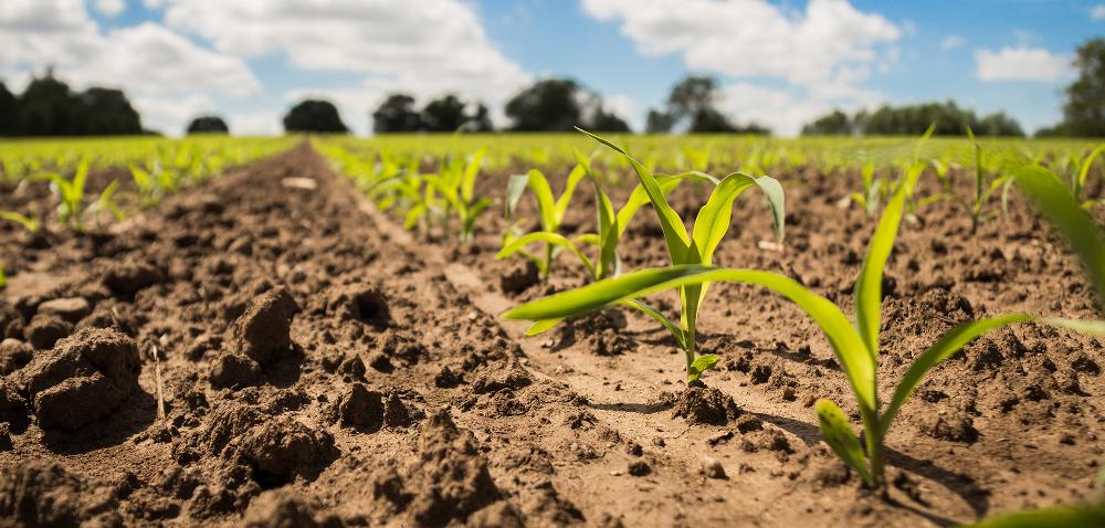 Nawożenie kukurydzy fosforem[INFOGRAFIKA]