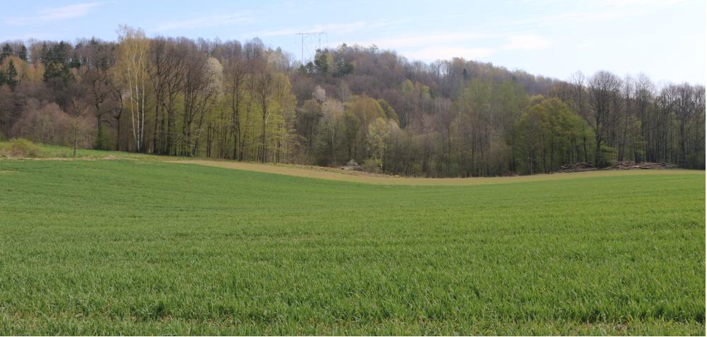 Liść flagowy pszenicy ozimej – prawidłowa ochrona! [WYWIAD]