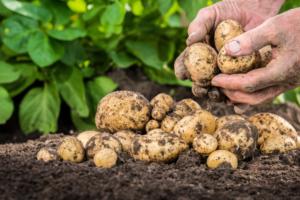 Zaraza ziemniaka – jest nowy fungicyd na rynku!