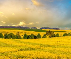 Technologia uprawy rzepaku – od siewu do zbioru