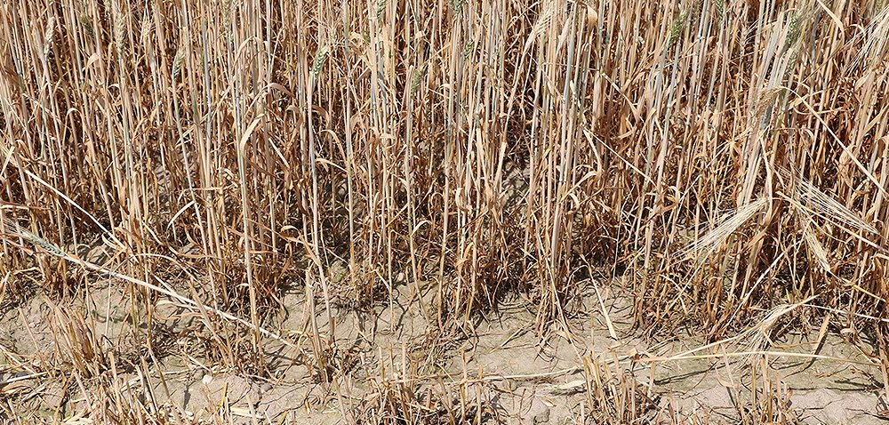 Komisje suszowe nie zdążą? [Ciekawostki rolnicze w100 sekund]