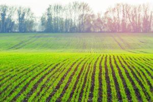 Plon zbóż ozimych rodzi się jesienią