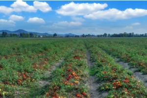 Mszyce przenoszą wirusy wuprawie pomidora gruntowego!