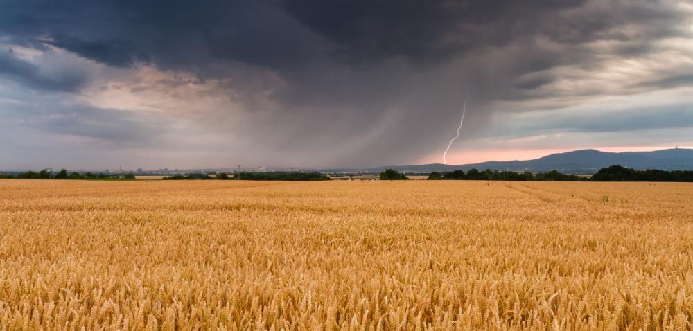 Ochrona fungicydowa pszenicy bez stresu opogodę!