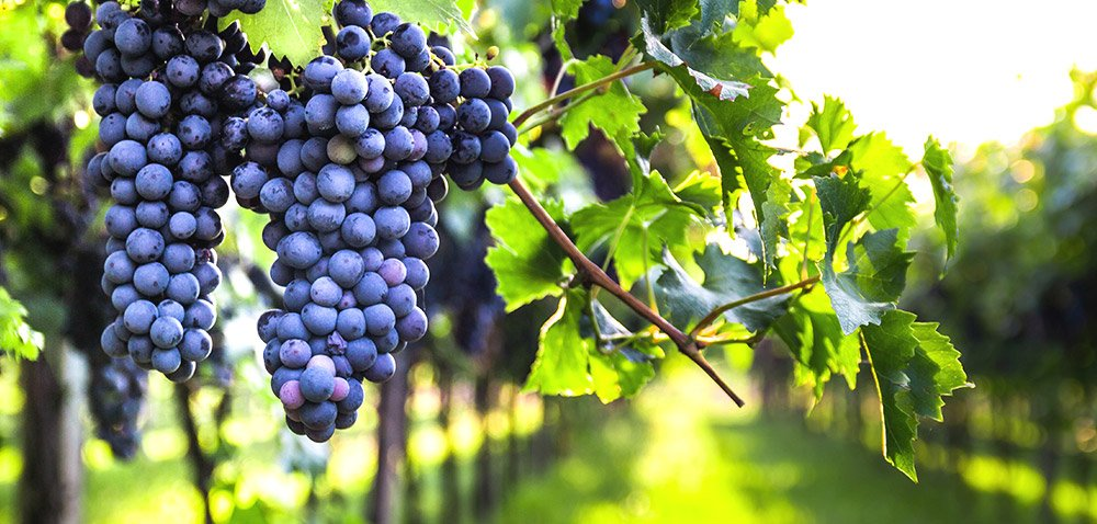 Polscy producenci wina – ważna informacja [AKTUALNOŚCI]