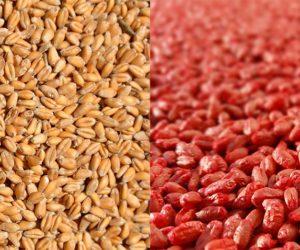 Innowacyjne zaprawianie zbóż – sprawdź co nowego na rynku!