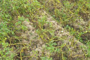 Zaraza ziemniaka – jedna znajgroźniejszych chorób ziemniaka