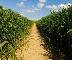 Plonowanie pszenicy, czyli otym co rolnicy lubią najbardziej