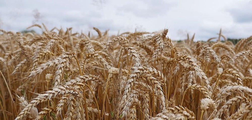 Przebieg żniw 2021 – pogoda psuje szyki rolnikom