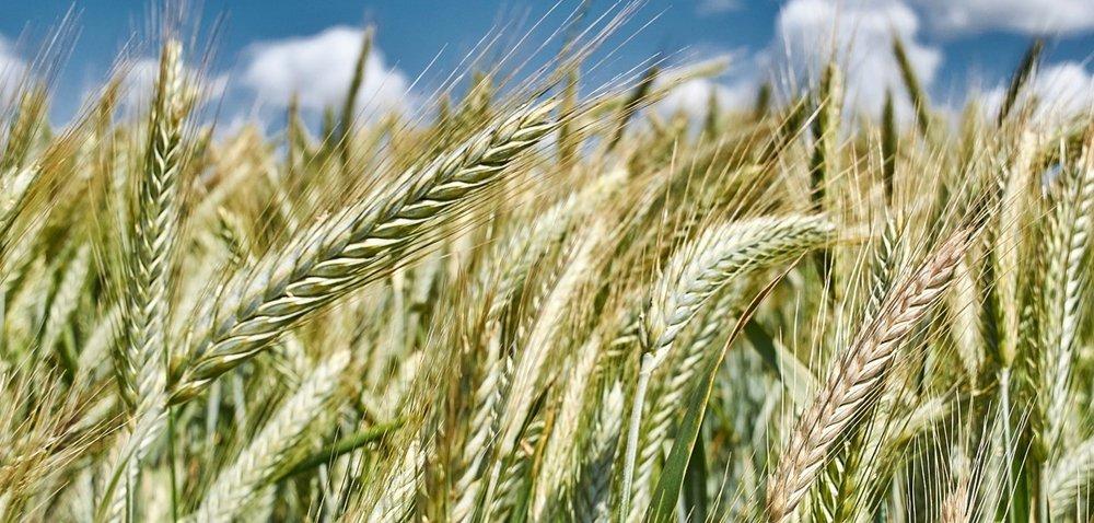 Najlepsza pszenica ozima – top 10 najwyżej plonujących odmian