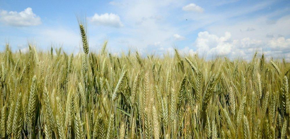 Najlepsze pszenżyto ozime – top 10 najwyżej plonujących odmian
