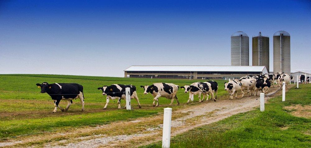Pasze wilgotne imokre dla bydła iświń. Co onich wiemy?