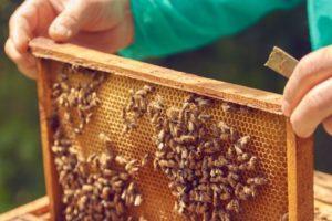 Pszczoła miodna na wagę złota [Ciekawostki rolnicze w100 sekund]