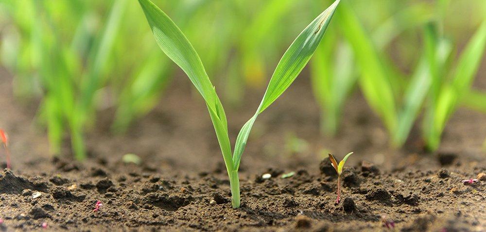 Zaprawianie ziarna warunkiem jakościowej plantacji!