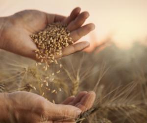 Zaprawianie zbóż okiem hodowcy roślin [REPORTAŻ]