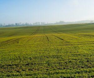 Pszenica ozima – co jest ważne dla uprawy jesienią?