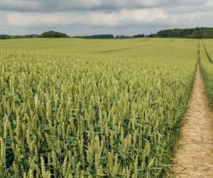 Jak uprawiać pszenicę ozimą Rotax, żeby uzyskać wysokie plony