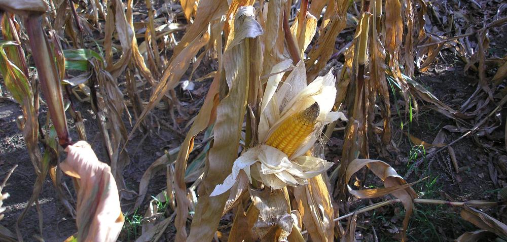 Klimatyczny Bilans Wodny – IUNG ocenia stan zagrożenia suszą rolniczą