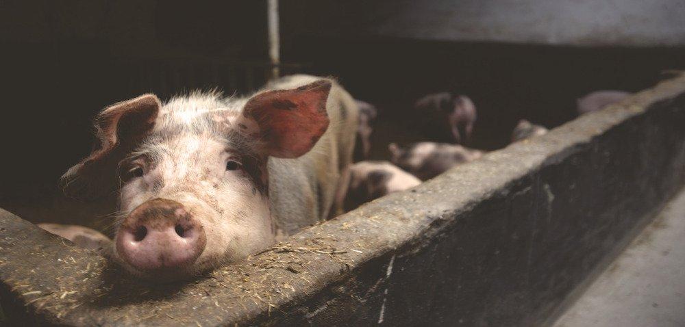 Jak wygląda inwazja glisty świńskiej?