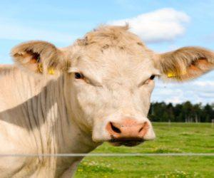 Jaką rasę bydła mięsnego wybrać do hodowli?