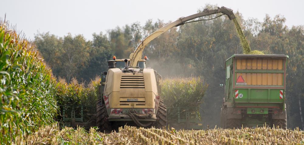 Kukurydza na kiszonkę – wybór odmiany to nie wszystko!
