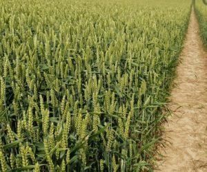 Siew pszenicy ozimej: dlaczego kupujemy kwalifikowane nasiona?