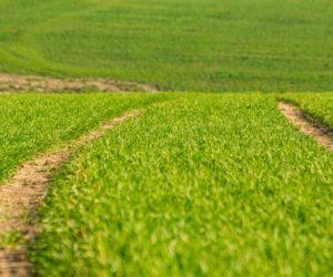 Nawożenie azotowe ozimin wiosną. Jaki nawóz wybrać?