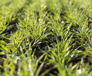 Nawożenie zbóż wiosną. Kiedy wysiać nawóz azotowy?