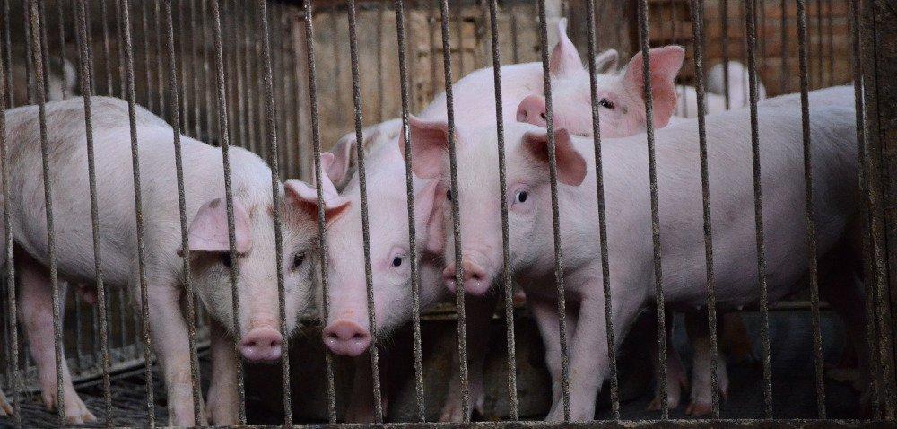 Pogłowie świń wPolsce zmniejszyło się omilion