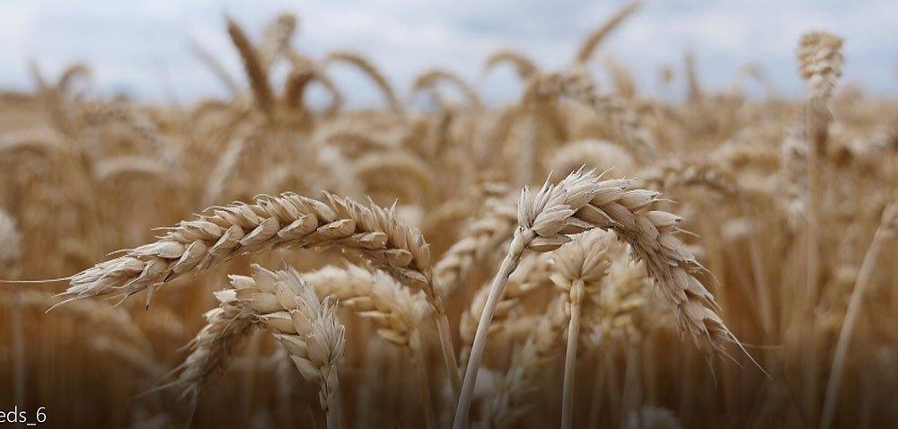 Ukraina największym dostawcą pszenicy do UE