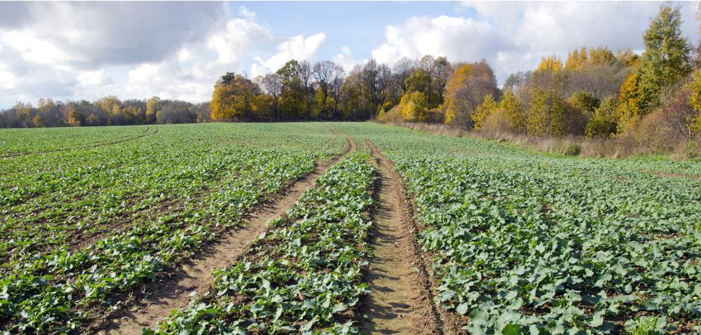 Skracanie rzepaku jesienią – skład produktu jest ważny!