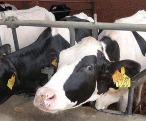 Co możesz zyskać stosując syrop paszowy wżywieniu krów? [INFOGRAFIKA]