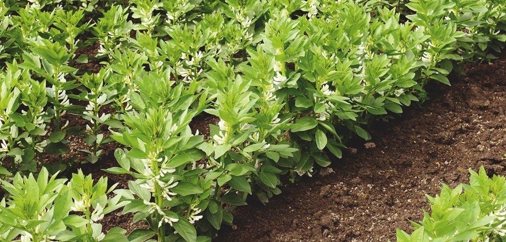 Najlepszy bobik – top 10 najwyżej plonujących odmian