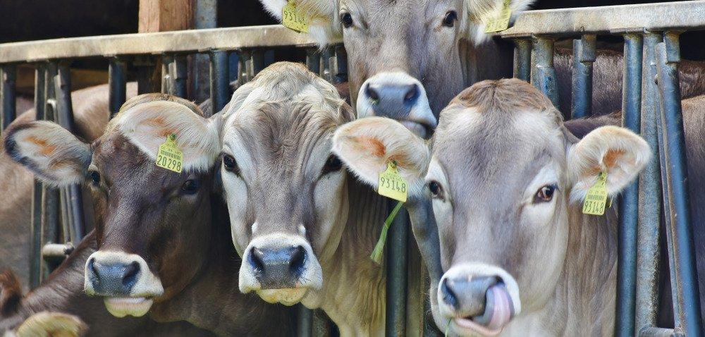 Ocena dobrostanu krów – metody punktowe, część 2